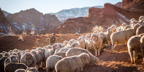 Um pastor dá a vida pelas ovelhas